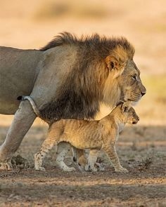 These lions in southern Africa's Kgalagadi Transfrontier Park probably aren't heading out for Father's Day brunch. Cubs are usually protected by their. Fathers Day Date, Fathers Day Brunch, Fathers Day Poems, Happy Fathers Day, Father's Day Celebration, Celebration Around The World, History Of Father's Day, St Josephs Day, Father's Day Activities