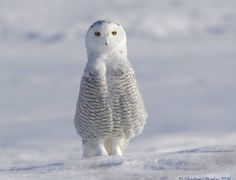 White cute icy owl with more personality than some people I've known!  lol