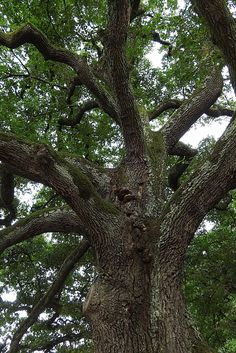 Oak trees are known symbolize strength and history. These thick, hard wood trees are slow to grow, but it is well worth the wait. Some varieties can reach over 100 feet in height and 35 feet wide. Once the tree is mature, it will produce acorns that the wildlife will love. Plant one of these iconic trees in your yard now so that you can enjoy the shade!