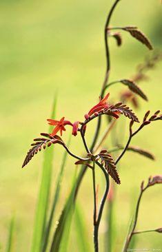 Plant: Crocosmia