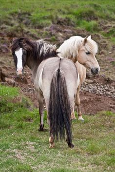 """Acquire wonderful recommendations on """"horse trailer lighting"""". They are accessible for you on our web site. Baby Horses, Cute Horses, Pretty Horses, Horse Love, Wild Horses, Most Beautiful Horses, Animals Beautiful, Island Horse, Fjord Horse"""
