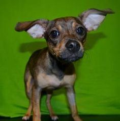 Bobbie is a super sweet 9 month pup. She is a Short Coat Chihuahua mix and is in need of a good home.