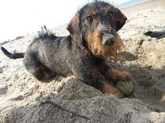 Dachshund at the beach