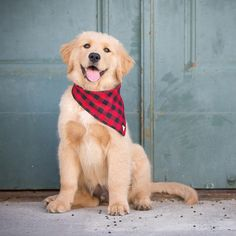 dog learning,dog tips,dog care,teach your dog,dog training Pet Dogs, Dogs And Puppies, Sick Dog, Cute Dog Pictures, Golden Retriever, Retriever Puppies, Boy Dog, Guide Dog, Dog Costumes