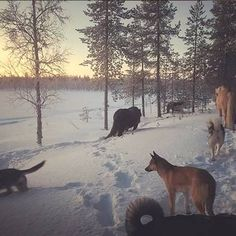 Hiking with dogs and horses in arctic nature. Hiking Dogs, Open Fires, Arctic, Trail, Scenery, Horses, Explore, Nature, Animals