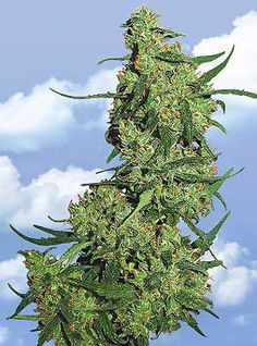 Nepal Kush ~ Nepalese refers to any strain that grows natively in the Nepal region. These indigenous vareities (also called landraces) tend to be sativa in growth structure, however the buds and effects more closely resemble indica varieties. Native Nepalese strains tend to be resinous and hashy in aroma, with buds growing dense toward the top of these sparsely branched plants.