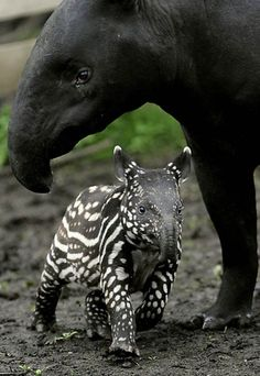 baby tapir I think adults are ugly, but I had no idea babies were this color