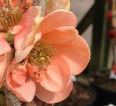 Salmon Pink Japanese Quince - Chaenomeles speciosa Geisha Girl