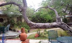 This is a 250 year old Live Oak, main trunk horizontal to the ground at a B where I am staying today in Rockport, Texas. It is fascinating! http://www.anthonysbythesea.com/