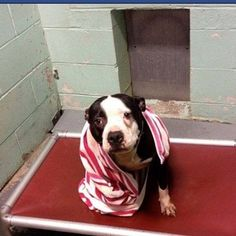 Sweet dog who wants a friend, sits behind bars for a year, waiting to be saved.  Won't you be her forever family?  She craves human attention and desires her own family to love.  Brookhaven, N.Y.  Email:  fosters@pawsunitepeople.com