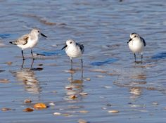Piping Plovers in Salvo