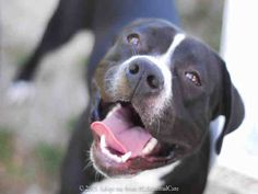 Meet TROY, a Petfinder adoptable Pit Bull Terrier Dog | Long Beach, CA | I WAS FOUND AT WALNUT/PACIFIC COAST HWY IN LONG BEACH.My adoption evaluation date is 03/30/2015.