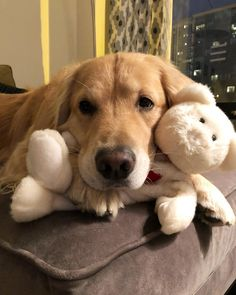 """Porter the Golden Retriever  """"you think i'm sweet and innocent until you should see my teddy bear's nose (or lack there of) 🙊"""""""