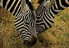 Amor de zebra