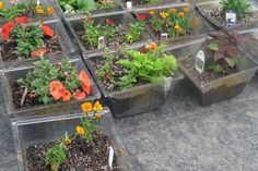 These flowers are planted in re-purposed light fixtures that were donated by city hall to the Middle Way House rooftop garden in Bloomington, Indiana.