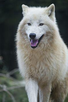 Cute standing polar wolf by Tambako the Jaguar, via Flickr