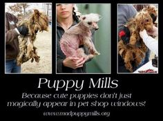 Never ever buy a puppy from a pet shop, flea market, parking lot or a breeder in general. This is how puppy mills stay in business. Adopt from your local shelter or a rescue! Litter Training Kittens, Stop Animal Cruelty, Puppy Mills, Animal Welfare, Pet Store, Beautiful Babies, Animal Rescue, Animal Adoption, Animal Shelter