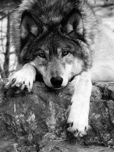 Wolf, gorgeous, beautiful, wild, adorable, cute, nuttet, animal, beast, photo b/w.