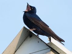 The purple martin is the largest of the eight swallow species that breed in North America. Learn more about this bird and what its song sounds like, here.