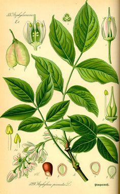 Flora von Deutschland Österreich und der Schweiz (1885). Staphylaea pinnata