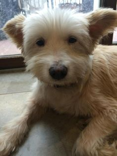 Kind Krystal is an adoptable West Highland White Terrier Westie searching for a forever family near Randolph, MA. Use Petfinder to find adoptable pets in your area.