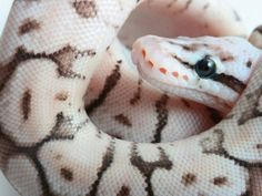 Pewter bee morph ball python