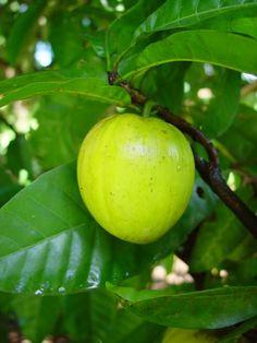 Egg-fruit (ang.) ; Canistel (esp.) ; Jaune d'œufCaribfruits - Canistel / Fruits des Antilles