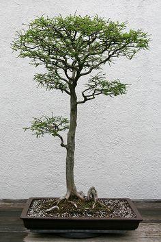 Bald Cypress Bonsai, Literati style (Bunjingi).