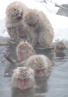 Snow Monkeys Taking an Onsen   JapanTourist - The Tourist's Portal to Japan
