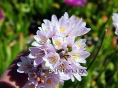 Allium_roseum_Σκόρδο_το_ρόδινο_1 Allium, Plants, Flowers, Plant, Planets