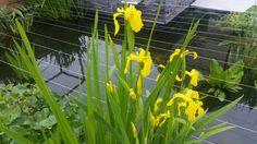 Iris pseudacorus flore - poussin's garden