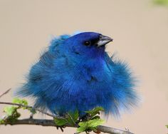 Indigo Bunting    Indigo Bunting with a tail wind at Centennial Trail…