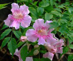 BIGNONIACEAE 紫葳科 - Pink Trumpet Vine (Podranea ricasoliana) 紫芸藤 / 非洲凌霄