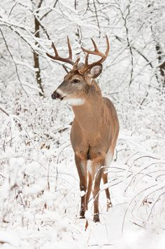 White-tailed Deer, Iroquoia Heights Conservation Area, Ontario, by Rafal Nowak… Whitetail Deer Pictures, Whitetail Deer Hunting, Deer Photos, Pictures Of Deer, Nature Animals, Animals And Pets, Cute Animals, Beautiful Creatures, Animals Beautiful