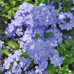 Grimpante de climat doux à longue floraison estivale. Variété traditionnelle.