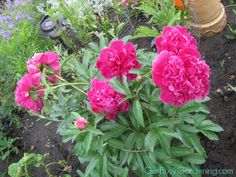 Tomato Cages or Peony Supports keep them blooming longer