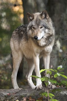 Timber Wolf by Simon Bolyn on Beautiful Wolves, Animals Beautiful, Cute Animals, Wild Animals, Baby Animals, Wolf Photos, Wolf Pictures, Wolf World, Wolf Artwork
