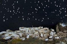 'Chuva de Pássaros' em penhasco ganhou prêmio de fotografia na Inglaterra  (Foto: Barrie Williams/ BWPA )
