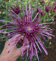 Chrysanthemum Fleur d'lis