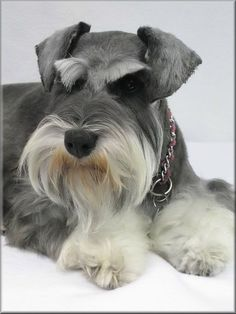 Jayla so adorable💕💕 Schnauzer Grooming, Mini Schnauzer Puppies, Miniature Schnauzer, Schnauzers, Dog Grooming, Big Dogs, Dogs And Puppies, Doggies, Dog Accessories