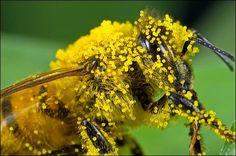 Bee Carrying Pollen: