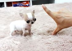 Chihuahua newborn puppies little Teacup Chihuahua For Sale, Teacup Puppies For Sale, Baby Chihuahua, Cute Small Animals, Cute Baby Animals, Newborn Puppies, Free Puppies For Adoption, Kingston Ontario, Pets