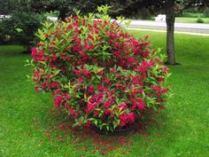 """weigela red prince"""