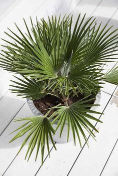 Disse palmene skiller seg ut fra de mer tradisjonelle blomstene vi pynter med. Denne varianten er Chamaeropsis Etna.