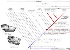 Therapsid Evolution