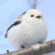 """animal-addiction-love: """"It is said that this is the most adorable bird in the world. Its scientific name is silver-throated long-tailed tit, which looks like glutinous rice dumplings.Seeing it I feel. Cute Birds, Pretty Birds, Beautiful Birds, Cute Baby Animals, Animals And Pets, Funny Animals, Cute Animal Pictures, Little Birds, Funny Cute"""