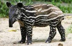 Resultado de imagen para tapires