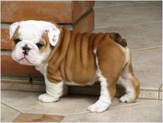 The Most Scrumptiously Wrinkly Dogs On The Internet