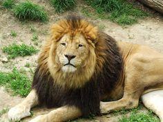 kispixfoto: Oroszlán... Lion, Animals, Leo, Animales, Animaux, Lions, Animal, Animais