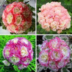 50 pz semi di geranio apple blossom rosebud pelargonium perenne semi di fiore pianta rustica bonsai pianta in vaso